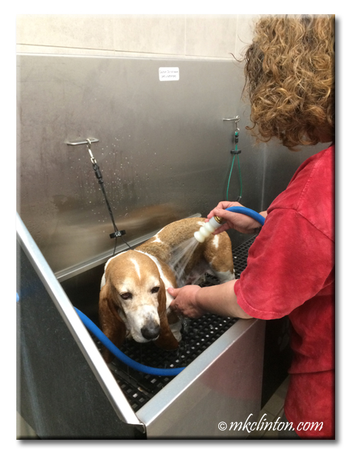 Basset Hound being bathed