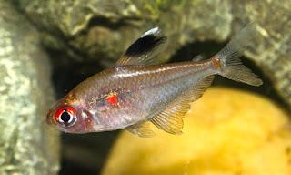 Bleeding Heart Jenis Ikan Tetra Terpopuler