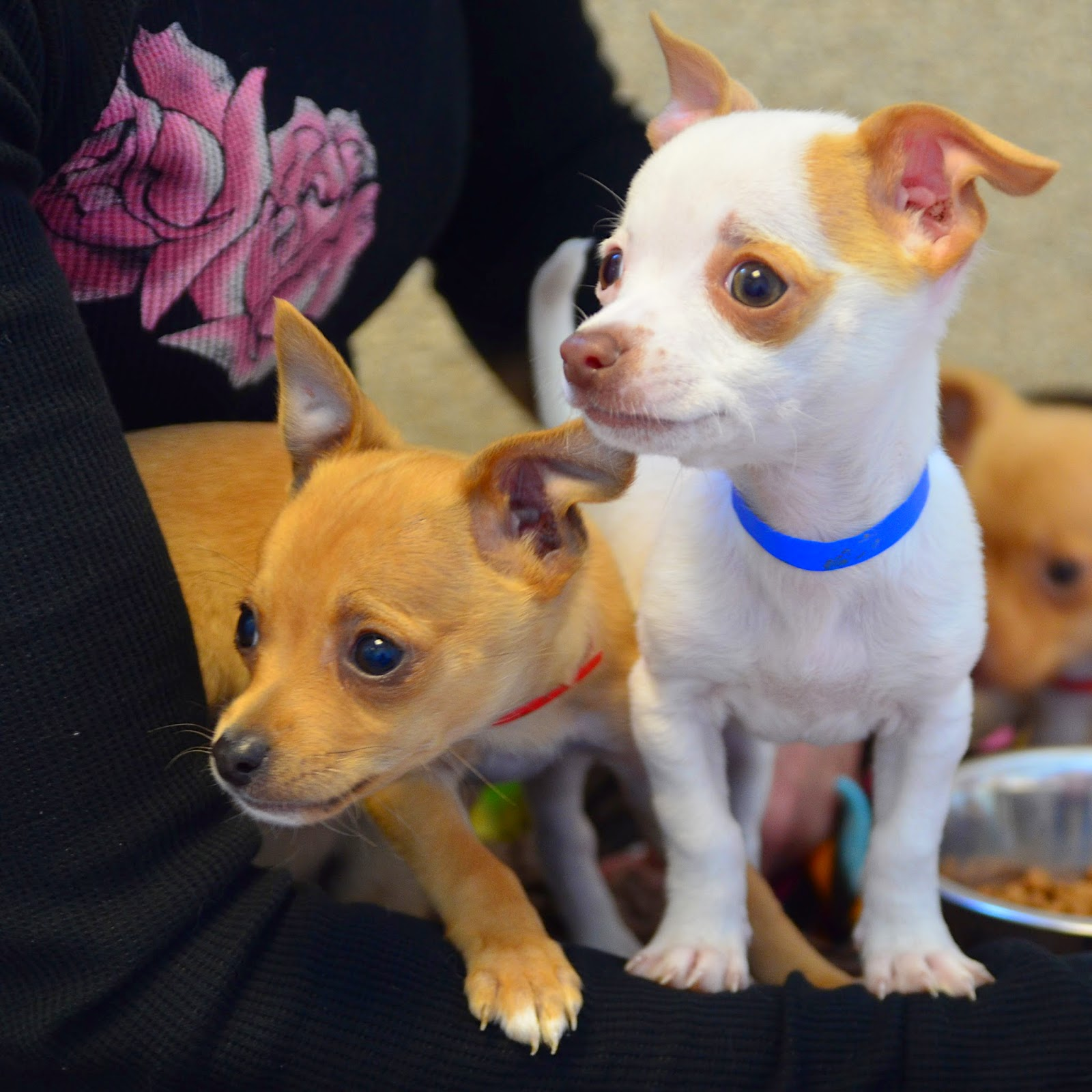 Interview with President of the Humane Society Silicon Valley about The Chihuahua Project