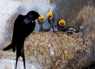 come costruisce il nido la rondine e come nutre i piccoli