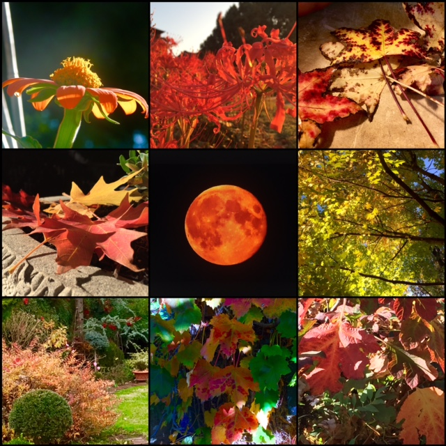 Strawberry Moon + Orange tithonia, red spider lilies, and richly colored fall foliage of Boston Ivy, deutzia and various trees.