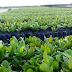 Portalegre e mais sete municípios do RN foram selecionados para produzir 450 mil mudas de cajueiro