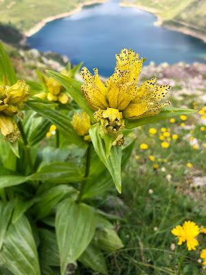 [Gentianaceae] Gentiana punctata – Spotted Gentian (Genziana punteggiata)