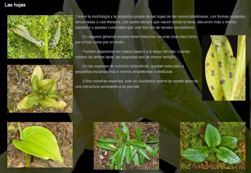Orquídeas Ibéricas: Características y Géneros