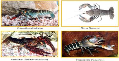 Lobster Air Tawar Klate