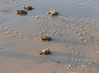 sea turtle hatchlings headed to the ocean