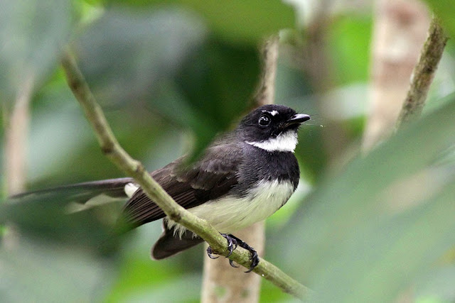 Mad Magpie aka Pied Fantail