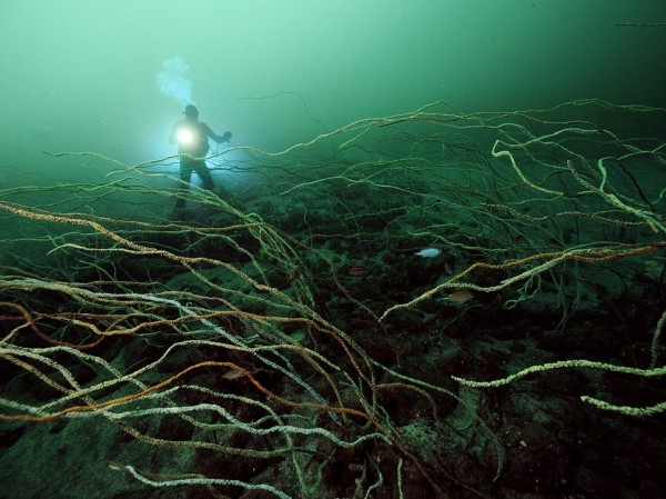 Deepwater Whip Coral, Japan