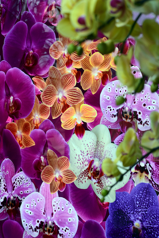 Orchid Daze 2019 | Atlanta Botanical Garden | Photo: Travis Swann Taylor