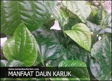 9 Manfaat dan Khasiat daun karuk atau kaduk (Piper sarmentosum)
