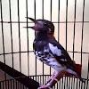 Pasangan Burung Anis Kembang Supaya Bersuara Ngeplong