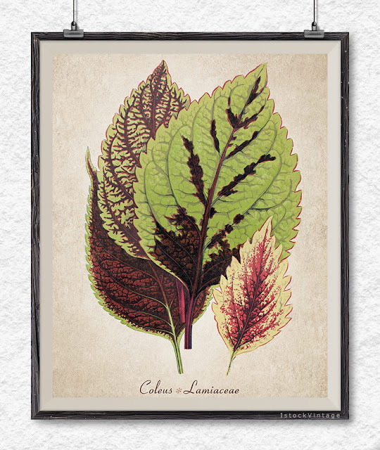 Coleus botanical illustration download - Etsy