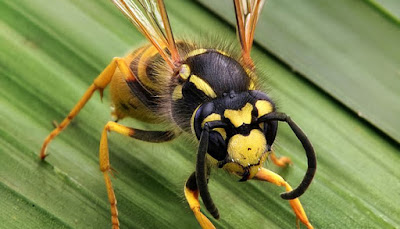 Scientists identify a New Species of Wasp in Goa