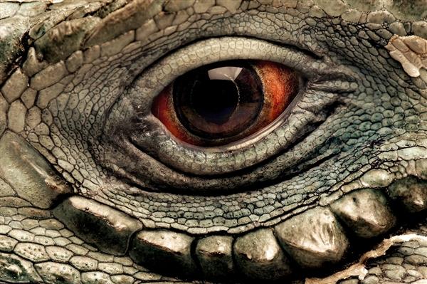 eye animal eyes iguana animals grand amphibian pages caymon