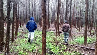Atlantic White Cedar conservation restoration reforestation New Jersey Pine Barrens ecosystem