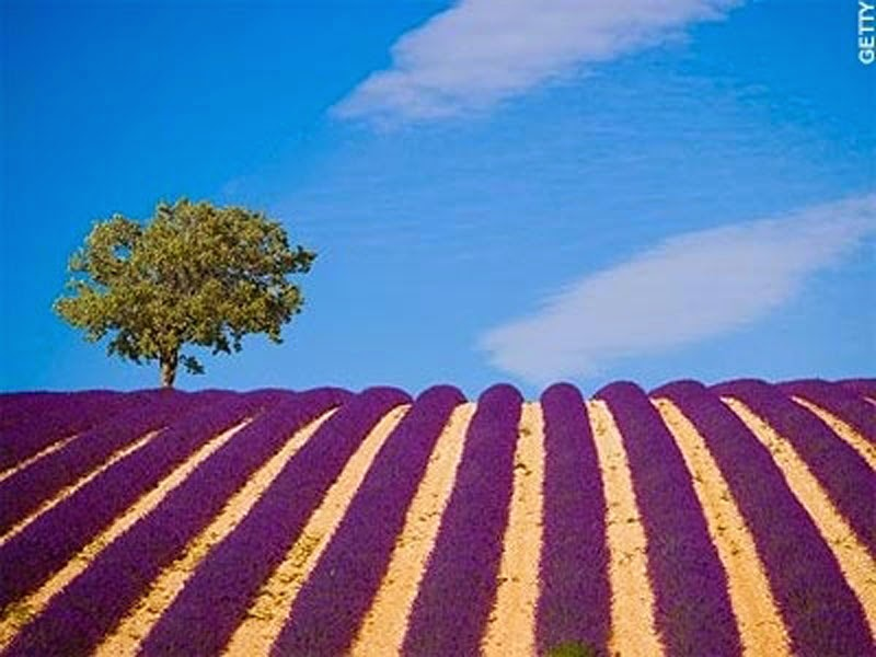 20 Stunning Pictures Of Lavender Fields In France