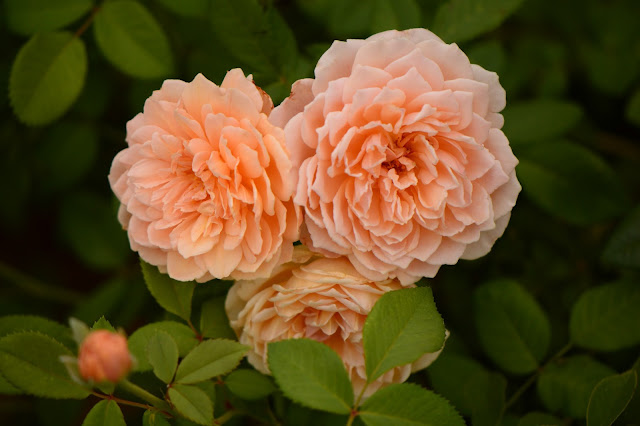 rose Crown Princess Margareta, David Austin roses, small sunny garden, amy myers photography, desert garden