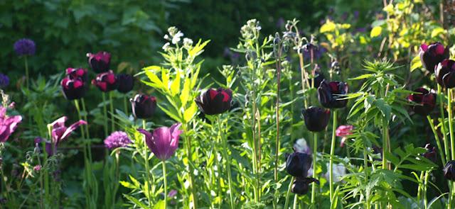Vildt tulipanbed