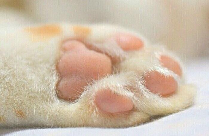 Pata de un gato y sus almohadillas
