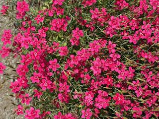 Dianthus deltoides 'Confetti Cherry Red'
