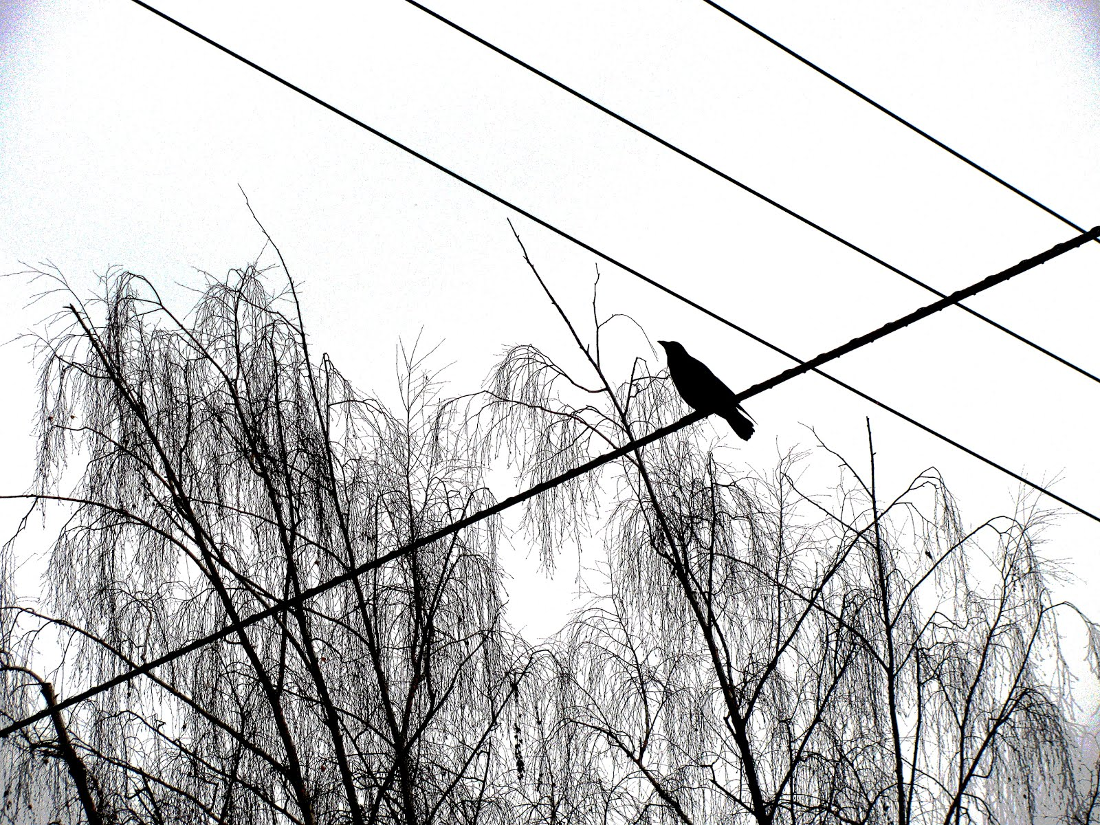 Crow on the Wire