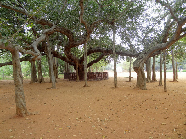 Banyan tree at Auro Ville Global Village - Pondicherry Pick, Pack, Go