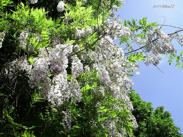Blossoms of wisteria.