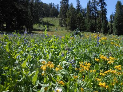 wildflowers, family issues, alpine meadows, PCT