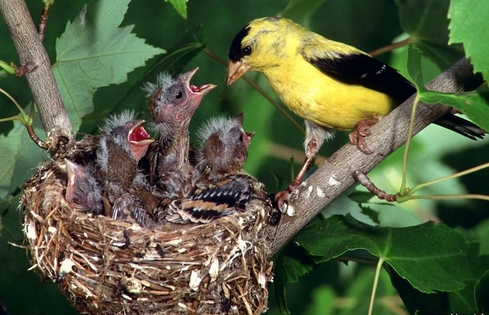 #FeedtheBirds 1: Watch and listen for Baby Goldfinches