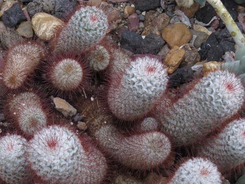 Meijer Gardens silken pincushion cactus