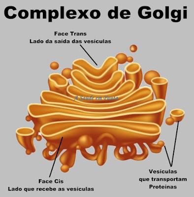 Esquema mostrando a estrutura da organela chamada aparelho de golgi