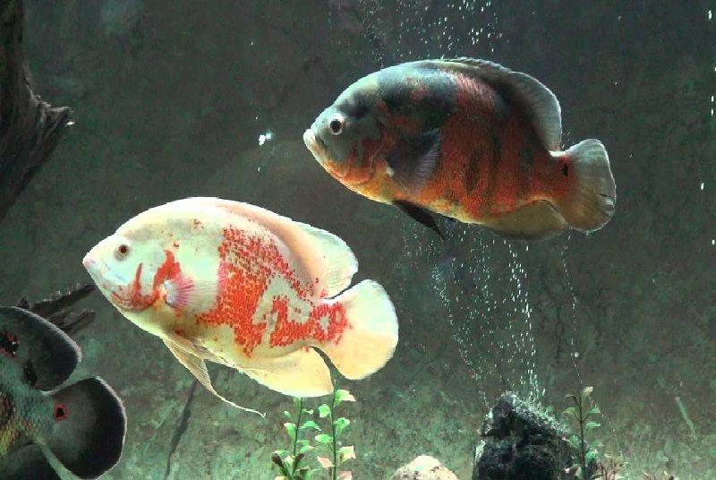 budidaya ikan oscar albino