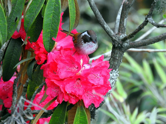 When rhododendrons had company   Sandakphu - April 2016