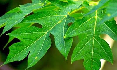 Cara mudah menghilangkan rasa pahit pada daun pepaya