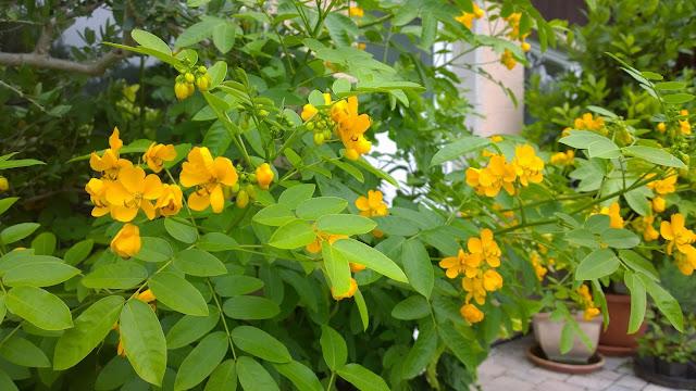 Blüten der Zimtrinde, Cassia (c) by Joachim Wenk