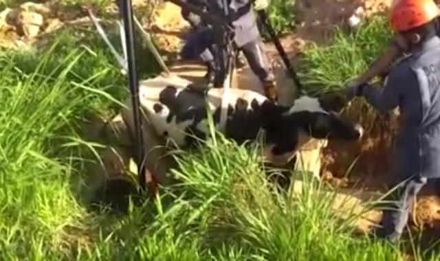 Barreiras: Vaca fica presa em vala com 2 metros de profundidade e é resgatada por bombeiros