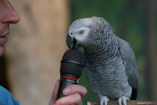 Einstein The Parrot Shows Off Impressive Vocabulary Skills On 30th Birthday At Zoo Knoxvillempressive vocabulary skills on 30th birthday at Zoo Knoxville