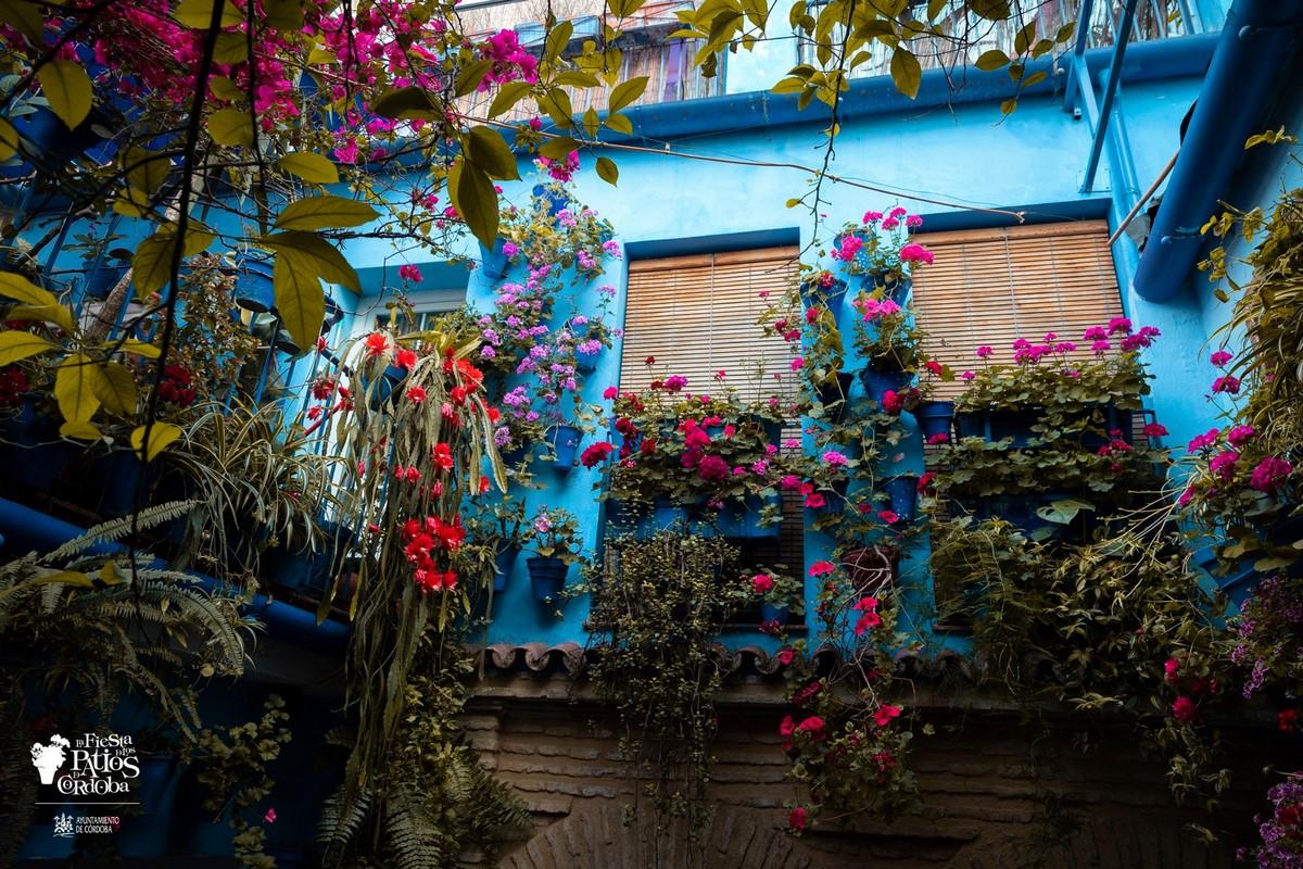 pared azul, buganvilla y flores de cactus de navidad Schlumbergera