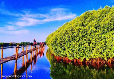 Foto Hutan Mangrove Kulonprogo