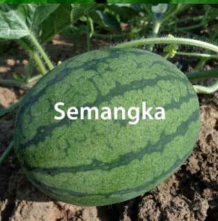 Teknis Budidaya Semangka
