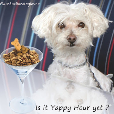 Maltese Shih Tzu ready for happy hour with martini glass full of kibble and dog biscuit