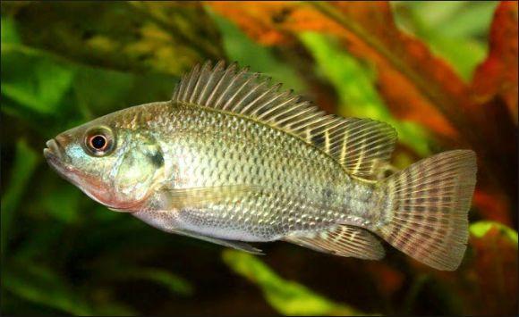 Ikan Air Tawar Konsumsi
