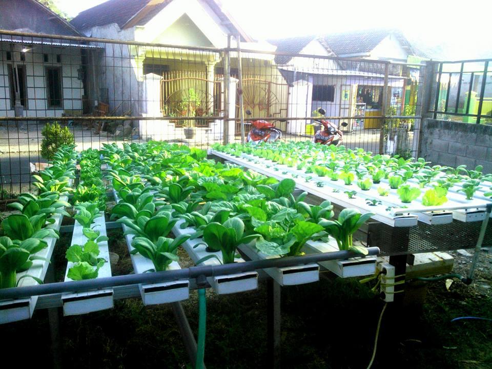 Cara Menaman Sayuran Dengan Menggunakan Hidroponik Petani