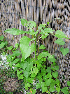 Sunflower damaged by slugs