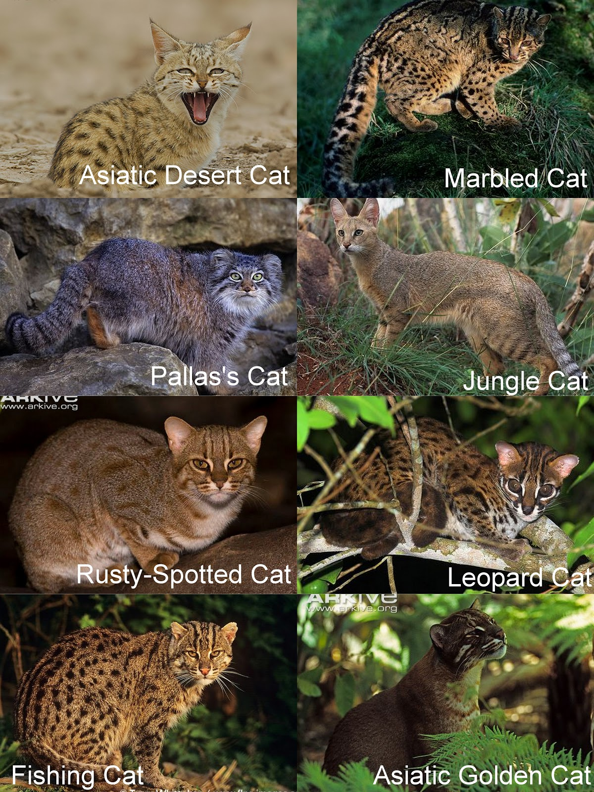 Types Of Wild Cats Most of these cats are rarely