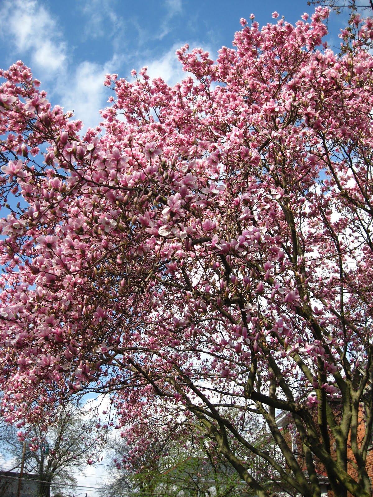 The Daily Apple Apple 575 Magnolias