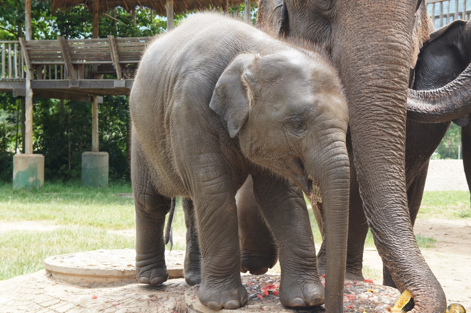 Chiang Mai - Everyone crowded around the baby elephant