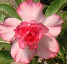 Gambar Bunga Adenium yang Unik dan Cantik 2