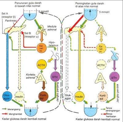 Mekanisme Kerja Hormon