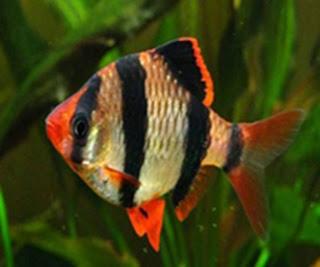 Barbo Sumatrano